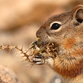 Golden-mantled Ground Squirrel Eating Prickly Spine by Max Allen