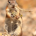 Golden-mantled Ground Squirrel With A Prickly Bite by Max Allen