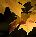 Golden Maple by Sharon Foster