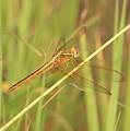 Golden Marsh Dragonfly by Carol Groenen