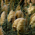 Golden Pampas In The Wind by DigiArt Diaries by Vicky B Fuller