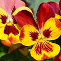 Golden Pansies by Maria Urso