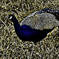 Golden Peacock by Douglas Barnard