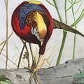 Golden Pheasant by George Parkinson
