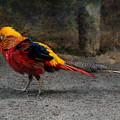 Golden Pheasant by Sergey Lukashin