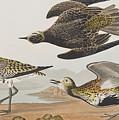 Golden Plover by John James Audubon