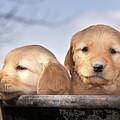 Golden Puppies by Cindy Singleton