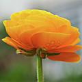 Golden Ranunculus by Susie Peek
