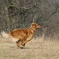 Golden Retriever 2 by David Dunham