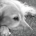 Golden Retriever Dog In The Cool Grass Monochrome by Jennie Marie Schell