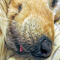 Golden Retriever Dog Little Tongue by Jennie Marie Schell