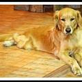 Golden Retriever Dog by Prasanna Kakunje