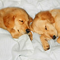 Golden Retriever Dog Puppies Sleeping by Jennie Marie Schell