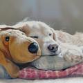 Golden Retriever Dog Sleeping With My Friend by Jennie Marie Schell