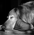 Golden Retriever Dog With Master's Slipper Black And White by Jennie Marie Schell