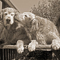 Golden Retriever Dogs The Kiss Sepia by Jennie Marie Schell