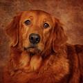 Golden Retriever by Greg Mimbs