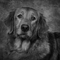 Golden Retriever In Black And White by Greg Mimbs