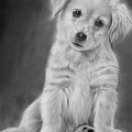 Golden Retriever Puppy Drawing by John Harding