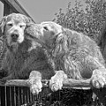 Golden Retrievers The Kiss Black And White by Jennie Marie Schell