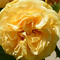 Golden Rose Swirl by Maria Urso