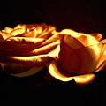 Golden Roses 5 by Tara Shalton