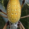 Golden Silk Spider 1 by J M Farris Photography