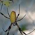 Golden Silk Spider 2 by J M Farris Photography