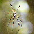 Golden Silk Spider by Kenneth Albin