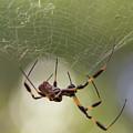 Golden-silk Spider by Paul Rebmann