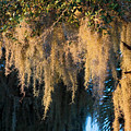 Golden Spanish Moss by Sally Weigand
