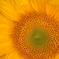 Golden Sunflower by Liz Vernand