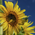 Golden Sunflower by Lois Bryan