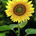 Golden Sunflower by Mark Miller