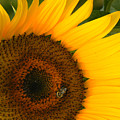 Golden Sunflower by Rosalie Scanlon