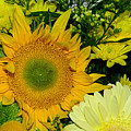 Golden Sunflower Yellow Bouquet By Kaye Menner by Kaye Menner