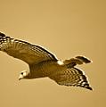 Golden Sunlight On Hawk by Carol Groenen
