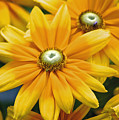 Golden Sunshine by Donna Bentley