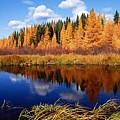 Golden Tamaracks Along The Spruce River by Larry Ricker