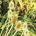 Golden Thistles Sextet by Lorraine Baum