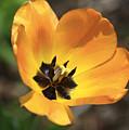 Golden Tulip Petals by Deborah Benoit