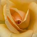 Golden Unicorn Rose by Denise Saldana