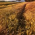 Golden Waves Of Grain by Debra and Dave Vanderlaan