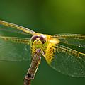 Golden Wing II by Bill Dodsworth