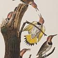 Golden-winged Woodpecker by John James Audubon