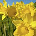Golden Yellow Daffodil Flower Garden Art Prints Baslee Troutman by Baslee Troutman