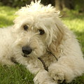 Goldendoodle Puppy And Stick by Anna Lisa Yoder