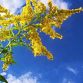 Goldenrod In The Sky by Shawna Rowe