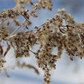 Goldenrod In The Snow by Cliff Ball