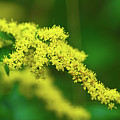 Goldenrod by Paul Mangold